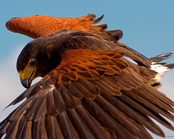 Harris Hawk Approach-Signed-6077